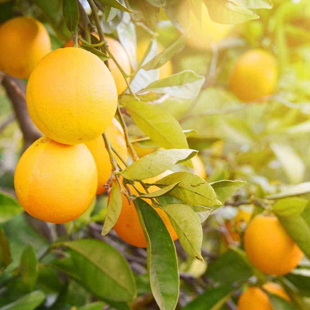 Citrus-Scent
