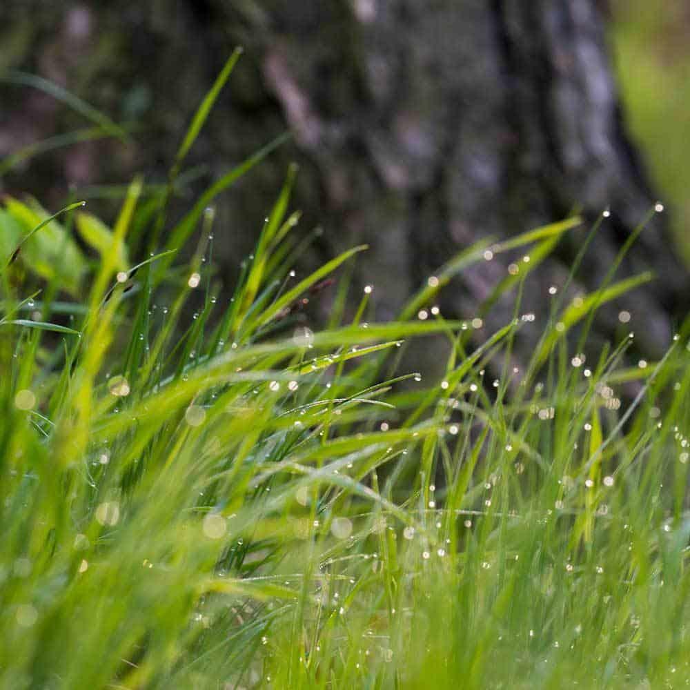 Sweetgrass-Scent